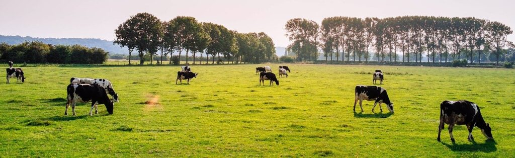 cattle, pasture, cow