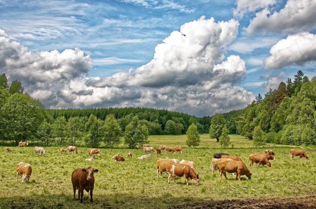 cows, cow herd, pasture